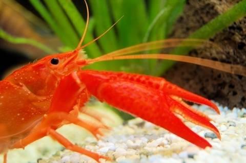 Bright Orange Lobster